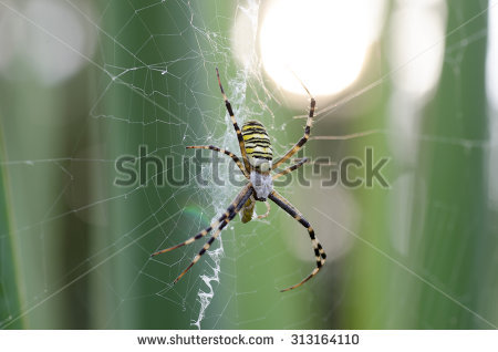 Wasp Spider Stock Photos, Images, & Pictures.