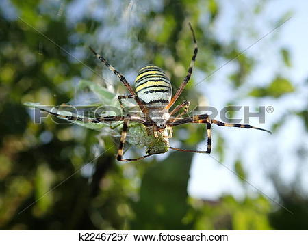 Picture of Wasp spider eating an insect k22467257.