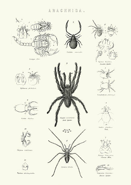 Wasp Spider Clip Art, Vector Images & Illustrations.