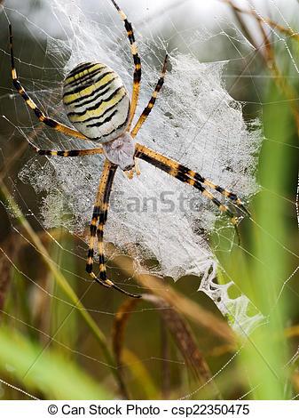 Picture of European Wasp spider, Argiope bruennichi in web.