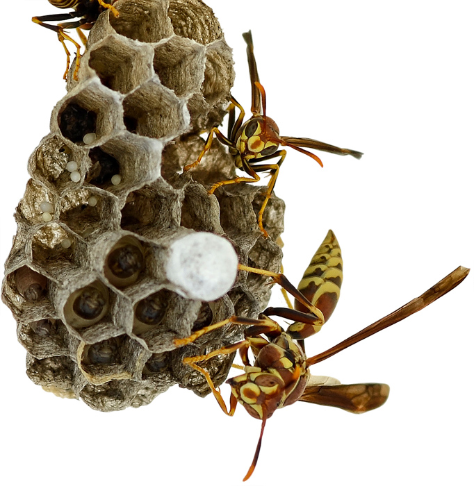 Wasps : hexagonal.