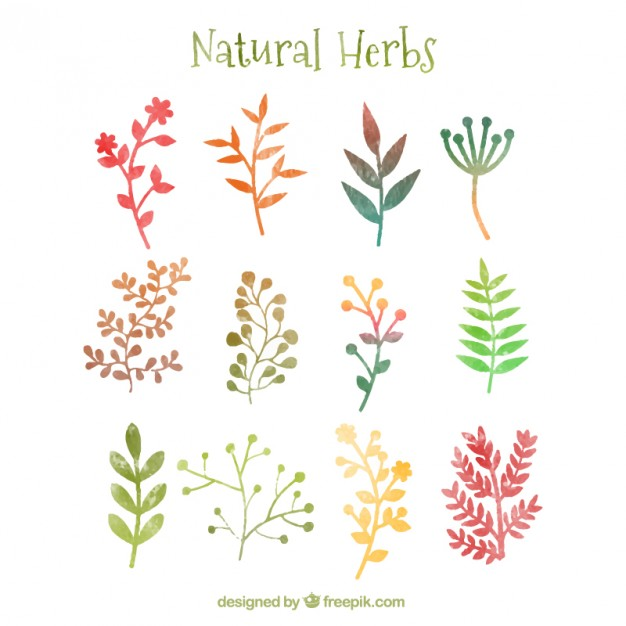 Natural herbs in watercolor style Vector.