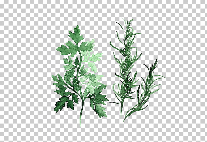 Herb Watercolor painting Parsley Art, Green leaves, green.