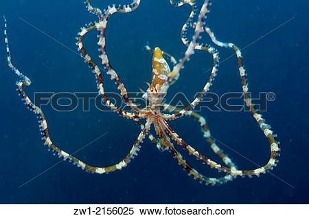 Stock Image of Wunderpus Octopus (Octopus photogenicus) swimming.