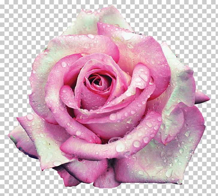 Garden roses Centifolia roses Beach rose Flower Petal, Rose.