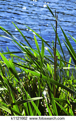Stock Photo of Reeds at water edge k1121662.