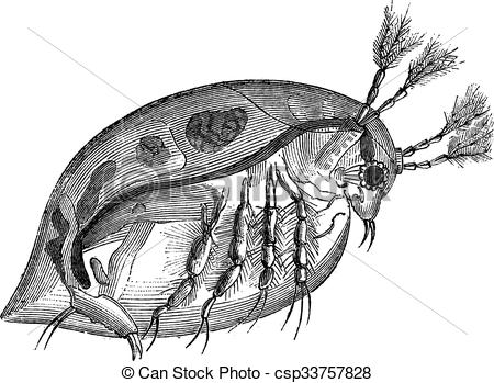 Water Flea Clipart Black And White.