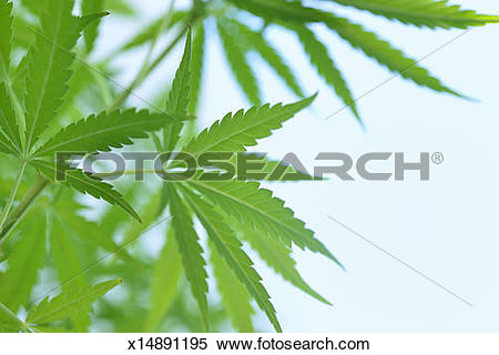 Stock Image of Close up of marijuana leaves x14891195.