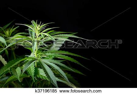 Stock Image of Hemp plant isolated k37196185.