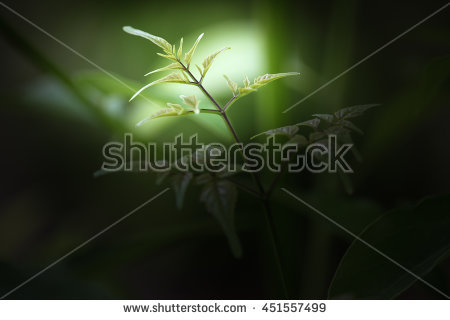 Horse Radish Tree Stock Photos, Royalty.