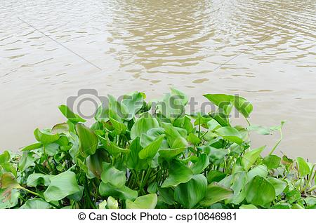 Pictures of Water hyacinth in the river csp10846981.