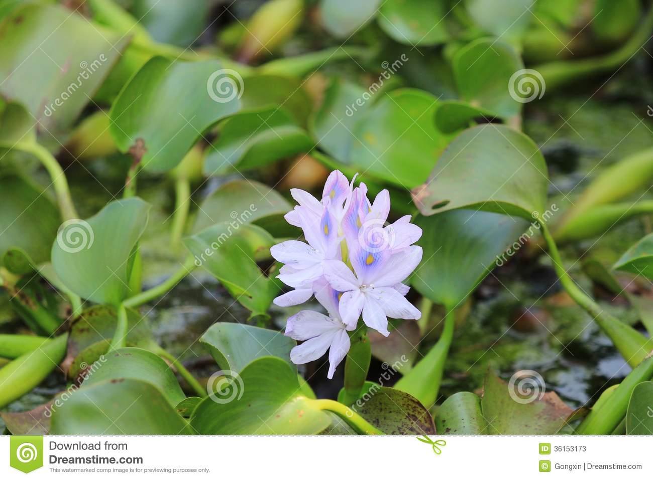 Water Hyacinth Stock Photos.