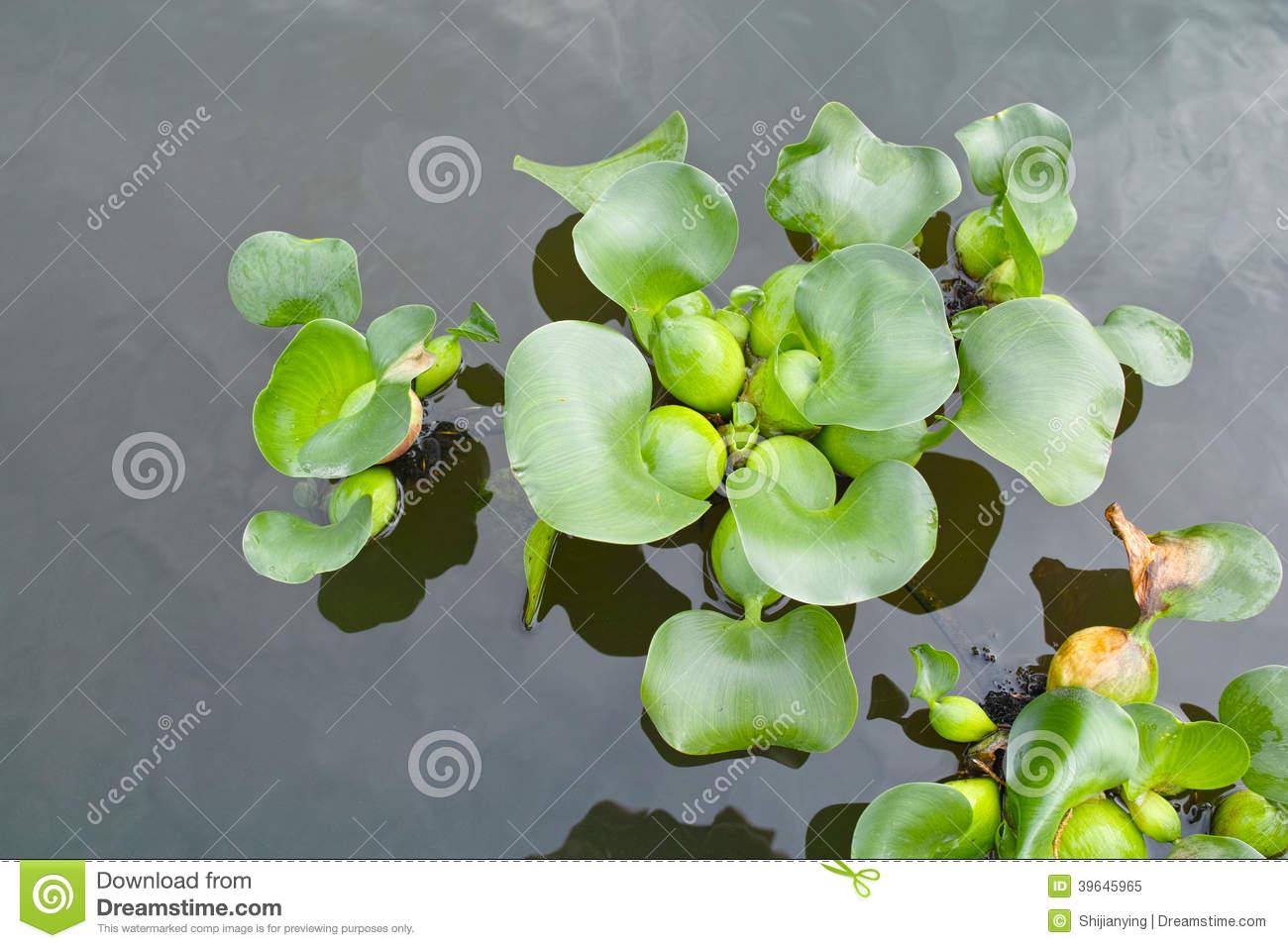 Water Hyacinth Stock Photo.
