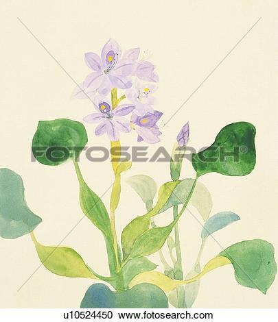 Stock Illustrations of Water hyacinth, close up u10524450.