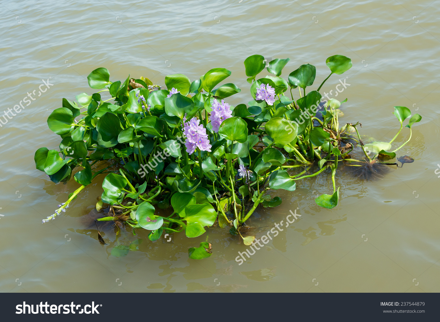 Water Hyacinth Plant Floating On River Stock Photo 237544879.
