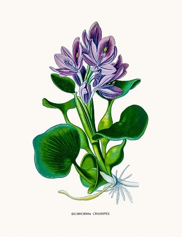 Hyacinth Clip Art, Vector Images & Illustrations.