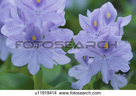 Stock Photo of Water Hyacinth u11919414.