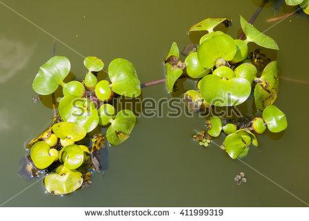 Water Hyacinth Stock Photos, Royalty.