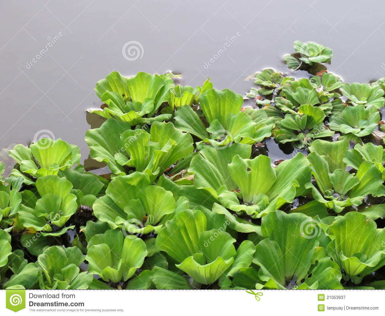 Water Hyacinth Royalty Free Stock Photography.