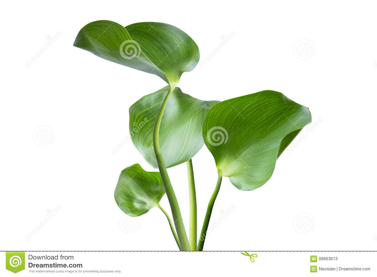 Water Hyacinth (Eichhornia Crassipes) Stock Photo.