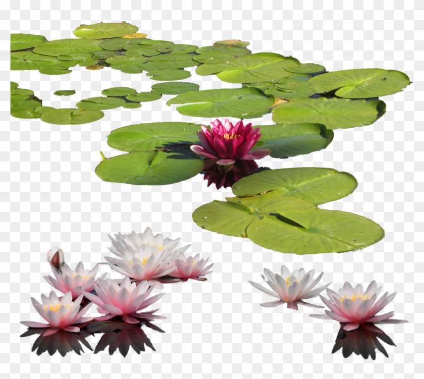 Download Water Lily Png Images Transparent Gallery.