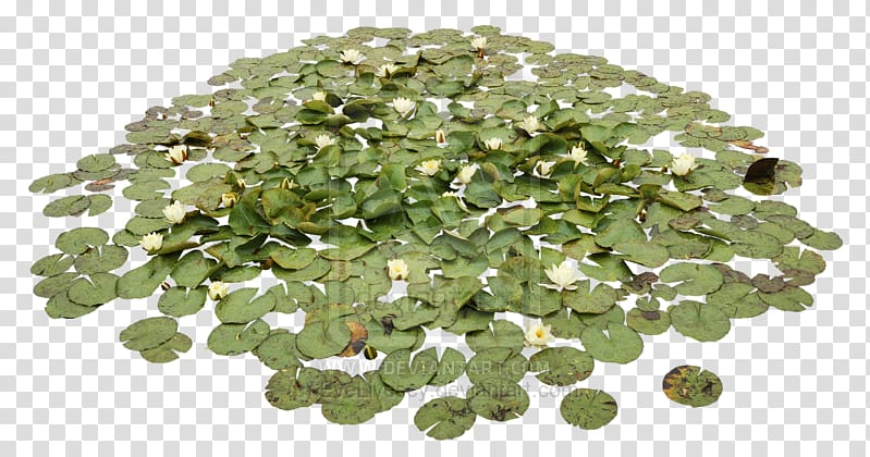 Pond Aquatic Plants Water lily Water lilies, Water Pond.