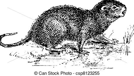 Clipart Vector of Water Rat, vintage engraving..