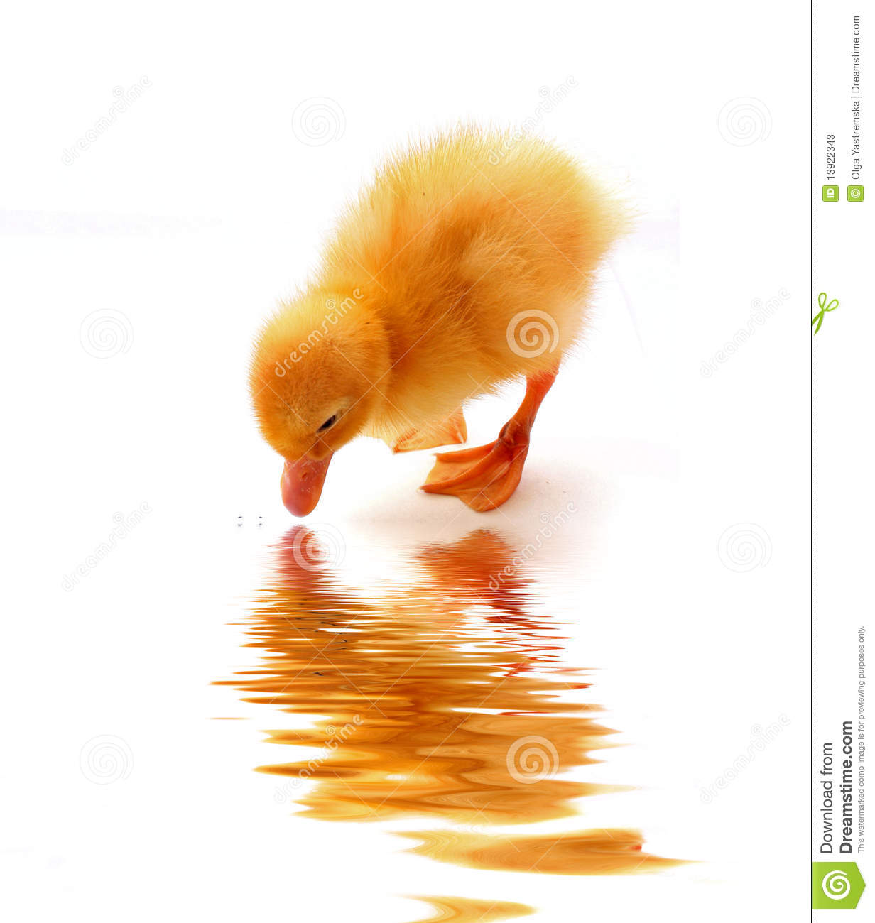 Small Duck And Water Reflection Stock Photos.