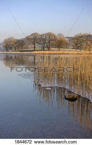 Stock Photo of Frozen water around reeds at shoreline, Cumbria.