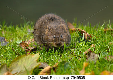 Stock Photography of Water Vole on River Bank.