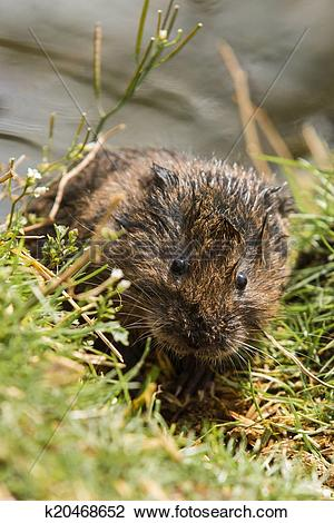 Stock Photo of Juvenile Water Vole k20468652.