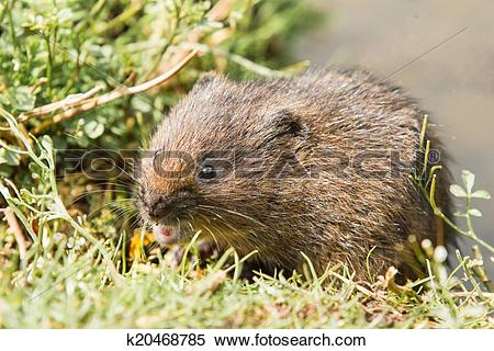 Stock Image of Juvenile Water Vole k20468785.
