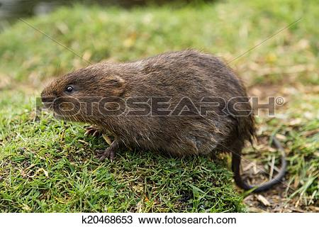Stock Photo of Juvenile Water Vole k20468653.