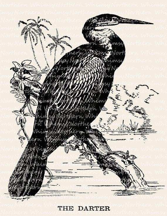 Darter Bird Illustration.