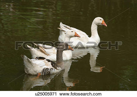 Stock Photography of birds, duck, feathers, plumage, water birds.
