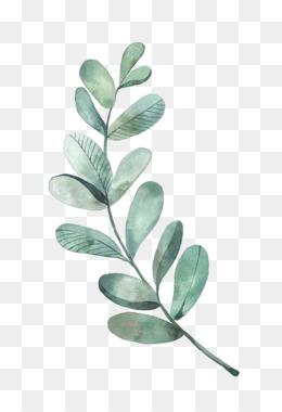 Eucalyptus PNG.
