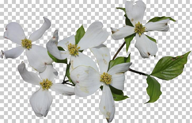 Flowering dogwood Cornus officinalis Cornus sericea.