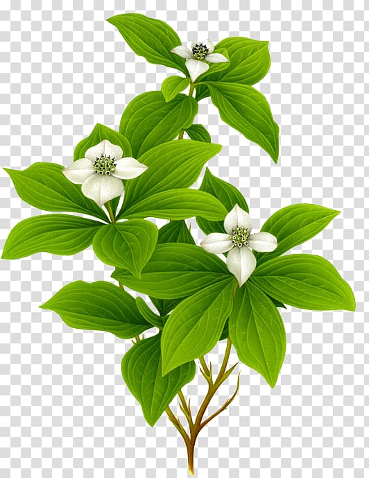 White dogwood flowers art, Botanical illustration Watercolor.
