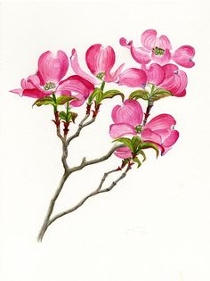 101 Best Watercolor Dogwood Blossoms images in 2019.