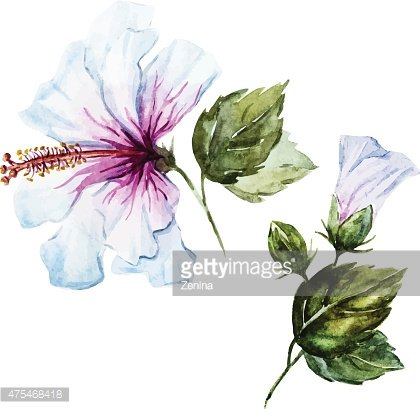 Watercolor hibiscus flower Clipart Image.