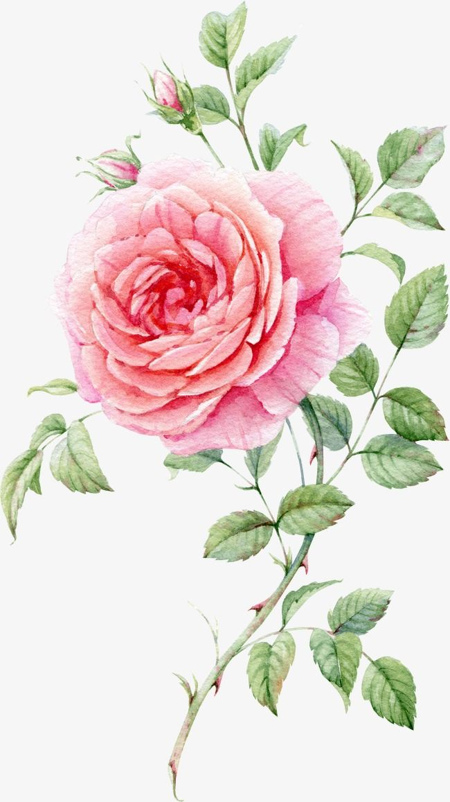 Watercolor Painted Pink Roses in 2019.