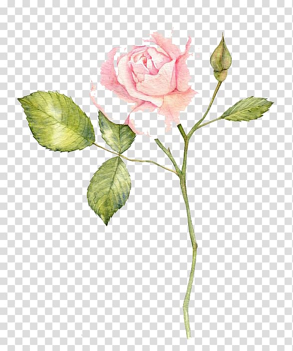Pink rose illustration, Watercolour Flowers Garden roses.