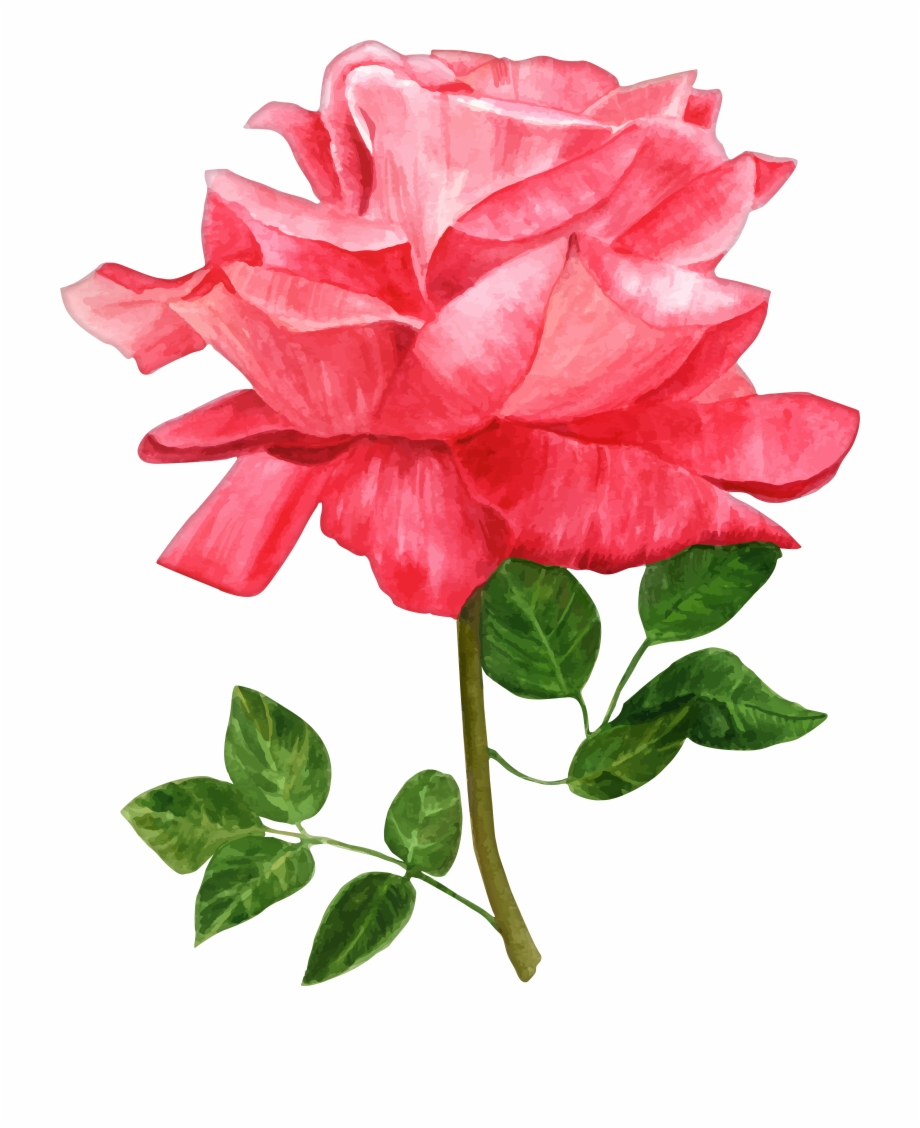 15 Watercolor Roses Png For Free Download On.