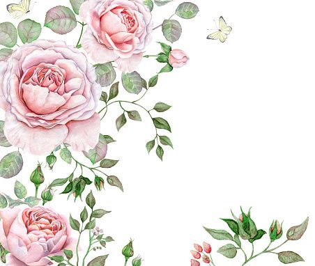 Watercolor English Roses on white background vector art.