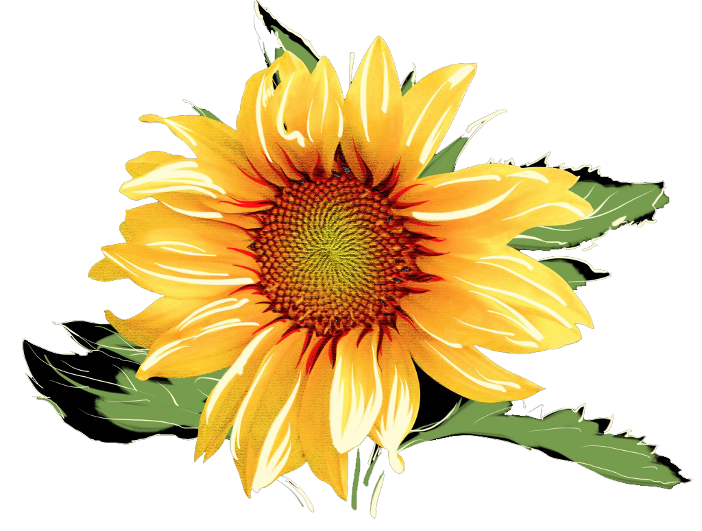 Common sunflower Watercolor painting.