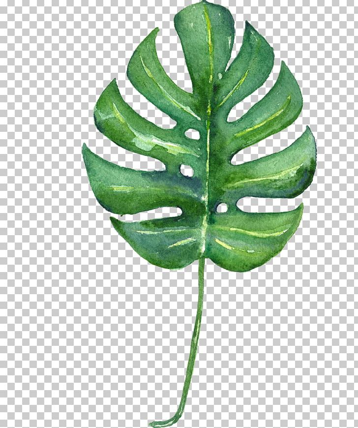 Swiss Cheese Plant Tropics Leaf Watercolor Painting.