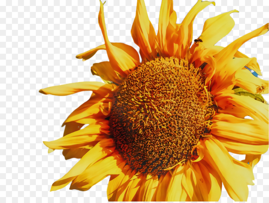 Sunflower Clipart png download.