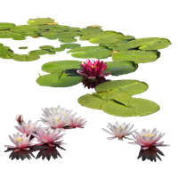 Download Water Lily Free PNG photo images and clipart.