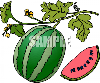 Clipart Picture of a Watermelon on the Vine.