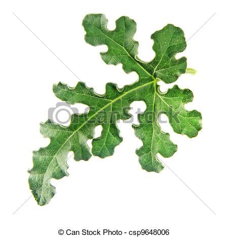 Stock Image of plant; vine; white; background; leaf; isolated.